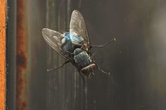 Mouche bleue, Insectes - MonSitePhotos - MonSitePhotos