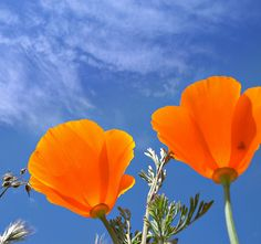 How about a quilt with this picture of California poppies?