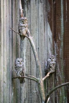 Owls from Ähtäri Finland 2012