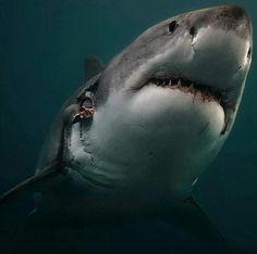photo incroyable d'un grand requin blanc, qui avait clairement une vie rude !!! Et en dépit de toutes les cicatrices, les blessures, l'hameçon dans sa bouche, le requin semble encore en bonne santé !