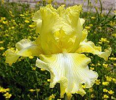 Lemonade Springs Iris