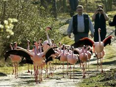 Flamingos leave their wintering grounds and are led to their open-air enclosure at the Zoom Erlebniswelt zoo in Gelsenkirchen, western Germany