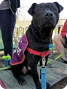 Snohomish, WA - Labrador Retriever/American Staffordshire Terrier Mix. Meet Swayzee,fab family fun, a dog for adoption. http://www.adoptapet.com/pet/17714366-snohomish-washington-labrador-retriever-mix