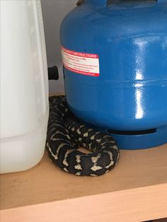 Python asleep in shed
