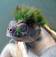 Mary River Turtle  #animal #mary #river #turtle