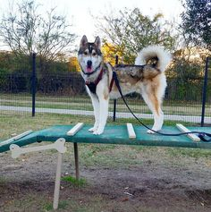Agility course fun at Canine Station - University Park - College Station, TX - Angus Off-Leash #dogs #puppies #cutedogs #bigdogs #husky #huskies #dogparks #collegestation #texas #angusoffleash