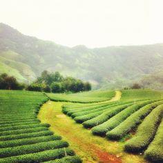 Tea plantation in the hill town of Doi Mae Salong, Chaing Rai, Thailand.