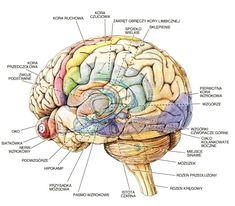 Motor Cortex, Visual Cortex, Skull Anatomy, Optic Nerve, Polish Language, Pituitary Gland, School Notes, Study Motivation, Health