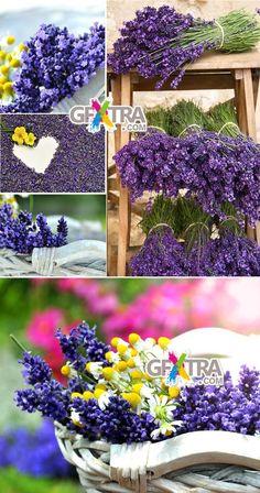 Imagens de flores de lavanda para download > http://www.gfxtra.com/stockimagecd/stock-flower/172085-stock-photo-lavender.html