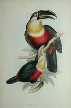 John (1804-1881) (& Elizabeth) Gould,  'Ramphastos Dicolorus: Red-Breasted Toucan'.