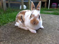 harlequin mini rex rabbits | mini rex baby rabbit...