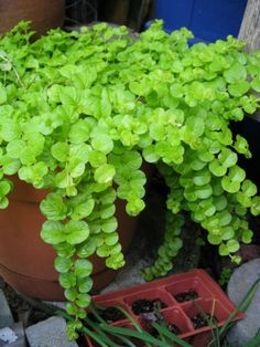 I added creeping jenny to all of my outdoor pots and I love the bright green