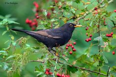 avianeurope:  Common Blackbird (Turdus merula) >>by Ina Bouhuijzen