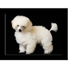 Teacup Poodle   ...........click here to find out more     http://googydog.com