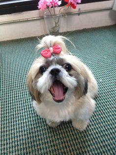 27 Best My Lovely Bj Shih Tzu Images On Pinterest Shiz Tzu Cute