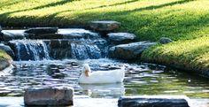 Una de nuestras amenidades es que contamos con un lago artificial con patos genuinos.
