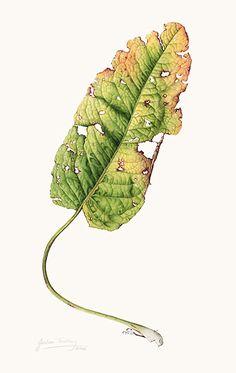 Trickey Image  Rumex obtusifolius leaf [Rumex obtusifolius Linnaeus, Polygonaceae]  watercolor on paper by Julia Trickey