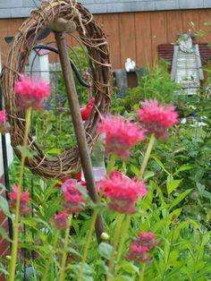 Monarda bee balm Rustic Gardens, Country Primitive, Love Flowers, Herb Garden, Garden Landscaping, The Balm, Garden Ideas, Bee, Cottage