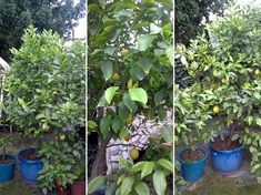 Limoncello, Mojito, Lime, Gardening, Plants, Alcohol, Limes, Lawn And Garden, Plant