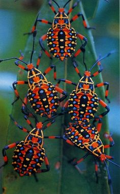 Giant Mesquite Bugs. They're just incredibly pretty.