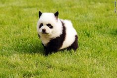Dog that look like a panda