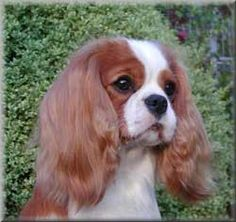 My dream dog.  A Cavalier King Charles Spaniel.  sigh