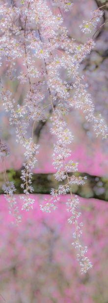 Weeping cherry trees in Japan