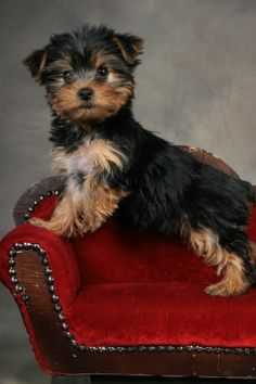 Yorkie Portraits ! love the chaise !