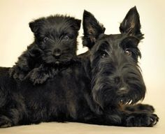 Scottish Terrier and puppy. I so wish our scottie could have puppies! Baby Dogs, Pet Dogs, Dogs And Puppies, Dog Cat, Doggies, Terrier Dogs, Little Dogs, Beautiful Dogs, I Love Dogs
