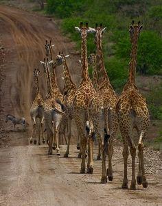 giraffes, I love them haha