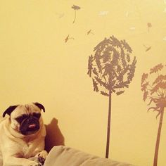 Mr. Pug is unimpressed with your wall decor