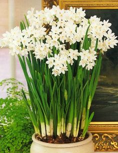 What would I do without paperwhites? My antidote to winter in the northeast. What do you find to enjoy?