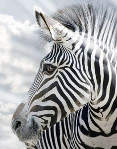 Love to pet a zebra. Only God can make this wonderful creation.