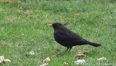 #merel #vogel #bird
