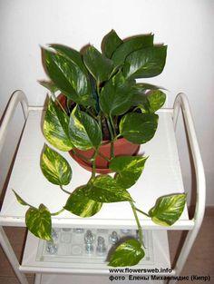 Сциндапсус (Потос) - Все о комнатных растениях на flowersweb.info