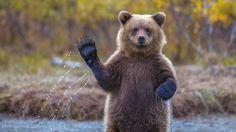 Hello to every one! Come and say hello at http://www.animalmayhem.com/ #bear # majestic #waving bear