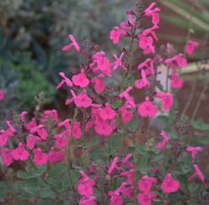 Salvia 'Penny's Smile' | Lambley Nursery