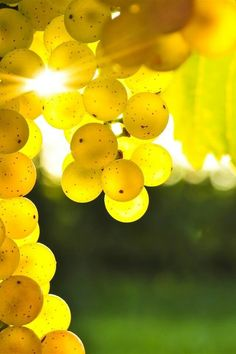 These beautiful grapes of yellow kissed by the sun.