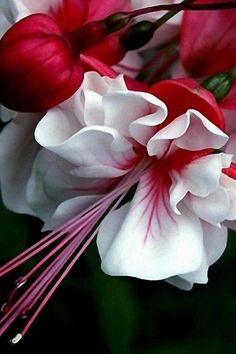 renardiere:  !!Fuchsia                                                                                                                                                                                 Mais