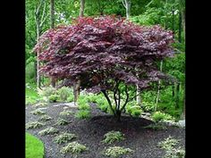 Bloodgood Japanese Maple - This sun tollerant Japanese Maple has the most beautiful color from start to finish!