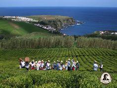 Plantação de chá Açores