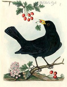 Black bird, James Bolton