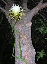Resultado de imagen de selenicereus validus
