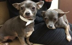 8 HOURS LEFT TO HELP! Foxy & Precious - senior chihuahuas saved from shelter, both need dentals/vetting - HELP THEM HERE! http://fundapetmiracle.com/projects/chihuahua-dentals1/1091
