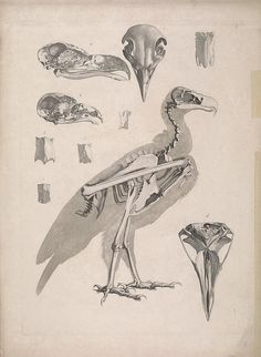 """dendroica: """" Black Vulture and skulls from other vulture species. by BioDivLibrary on Flickr. [Die vergleichende Osteologie /. Bonn :In Commission bei Eduard Weber,1821-1838.. biodiversitylibrary.org/page/40170752 """""""