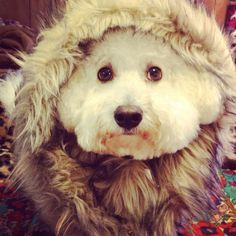 fur Bich Dog Love, Puppy Love, Animals Beautiful, Cute Animals, All Breeds Of Dogs, Lap Dogs, Happy Puppy, Sugar Baby, Puppys