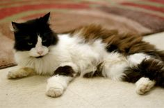 Lucy—Norwegian Forest/domestic long hair mix in Buford, GA