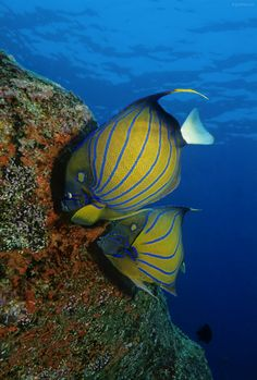 Yellow Mask Angelfish in the Maldives