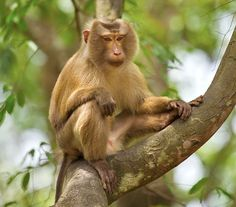 We've gathered our favorite ideas for Northern Pig Tailed Macaque Tripura Conservation India, Explore our list of popular images of Northern Pig Tailed Macaque Tripura Conservation India. Primates, Mammals, Asian Monkey, Rhesus Monkey, Macaque Monkey, Japanese Macaque, Borneo, North Africa, Wildlife Photography