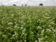 Growing buckwheat to fill our buckwheat pillows – ComfyComfy